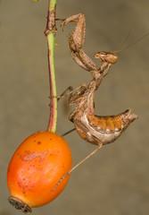 european Dwarf Mantis (Ameles spallanzania)