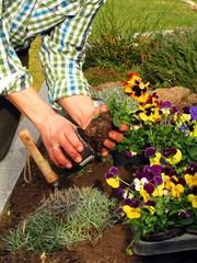 Gärtner pflanzt Blumen in Hochbeet