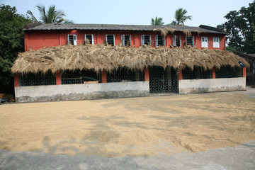 Harvested rice being dried.