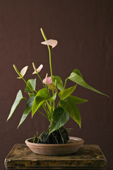 A houseplant, Anthurium with glossy green leaves and pink flower spikes growing in a pot.