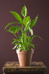 A houseplant with glossy green leaves growing in a pot.