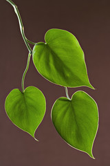 Houseplant glossy green leaves against a brown background.