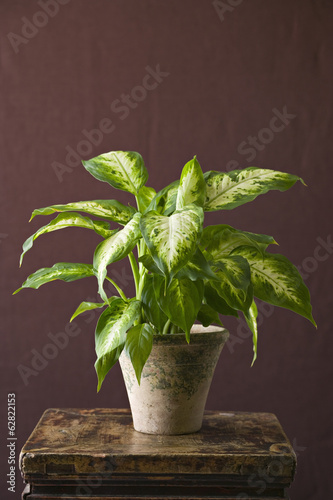 A houseplant with glossy variegated green leaves growing in a pot.