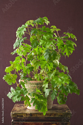 A houseplant with glossy green leaves, ficus  growing in a pot.