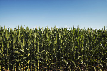 A field of tall maize plants, in a scenic landscape.