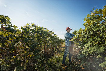 A man tending the growing grape vines in a vineyard, pruning and tying the shoots in.