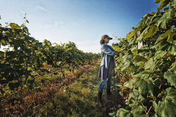A woman tending the growing grape vines in a vineyard, pruning and tying the shoots in.