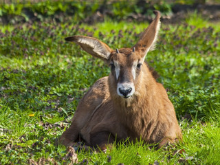 Young roan antelope (Hippotragus equinus)
