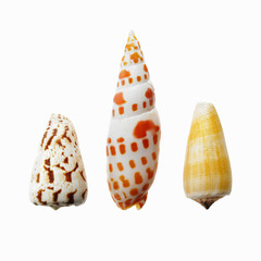 Three sea shells in a row, showing a variety of size, shape and pattern.