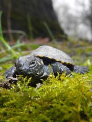 European pond turtle (Emys orbicularis) baby