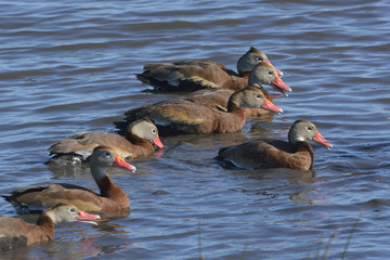 Closeup of a Group of Black-Bellied Whistling Ducks