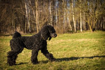 royal poodle dog