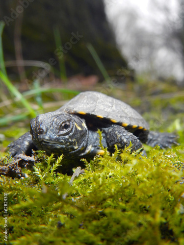 European pond turtle (Emys orbicularis) baby