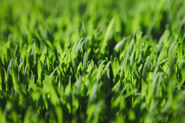 Close up of lush, green grass