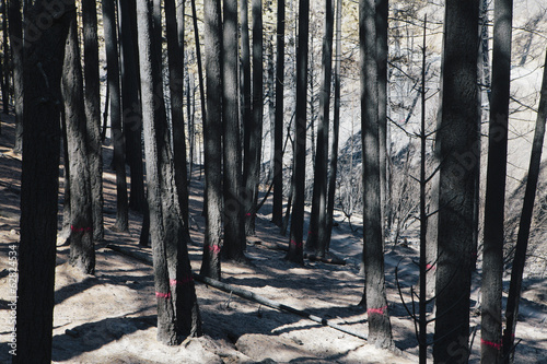 Fire damaged trees marked for cutting from extensive forest fire Taylor Bridge fire