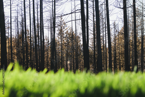 Lush, green grass in foreground, recently burned forest in distance