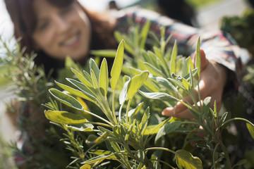 A woman tending herb sage plants an  organic farm.