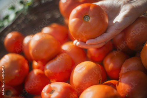 A person selecting ripe organic tomatoes from a box on a market stall.