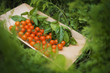 Organic Farming. A wooden tray of red cherry tomatoes and basil leaves.
