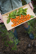 Organic Farming. A young girl holding a wooden tray of red cherry tomatoes and basil leaves.