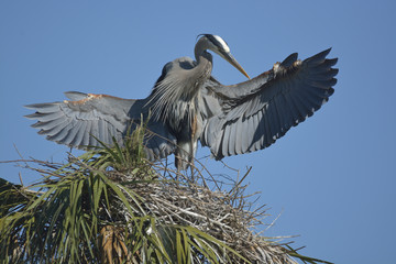 Wingspan of a Great Blue Heron