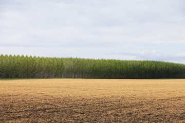 A large plantation of poplar trees in a arboriculture nursery or farm in Oregon, USA