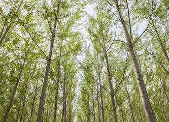 Poplar tree plantation, tree nursery growing tall straight trees with white bark in Oregon, USA
