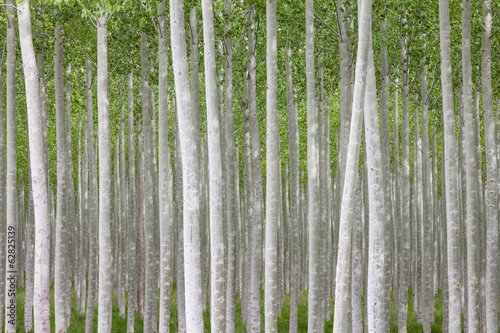 Poplar tree farm or tree plantation in Oregon.