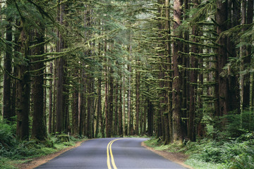 Road winding through the lush, temperate rainforest of the Hoh rainforest in Washington, USA