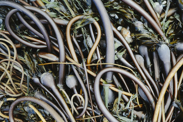 Pile of Bull Kelp seaweed washed up on beach on Rialto Beach, USA