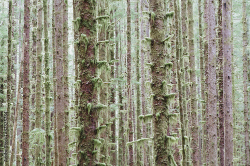 Sitka Spruce and Western Hemlock trees in lush, temperate rainforest