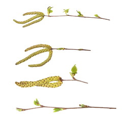 Set spring birch buds isolated on white, with clipping path