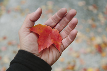 A man's hand holding a maple leaf in the palm of his hand. Autumn in Discovery Park, Seattle, Washington.