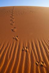 Vulpes chama, Cape fox tracks, in Namib-Naukluft National Park, Namibia