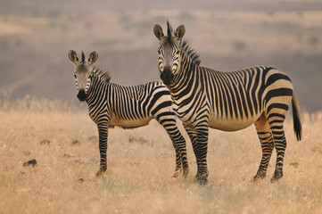 Two mountain zebras, Equus zebra, on the plains at Palmwag, Torra Conservancy, Damaraland, Namibia