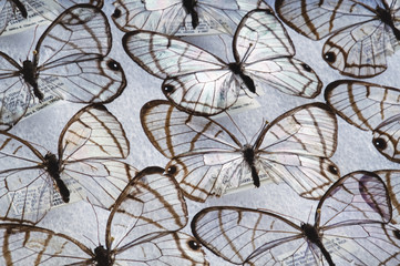 Glass wing butterflies, Dulcedo polita, National Institute of Biodiversity, Costa Rica
