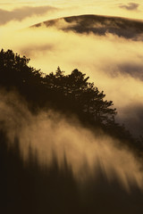 Coast redwoods in fog, Sequoia sempervirens, Big Sur, California