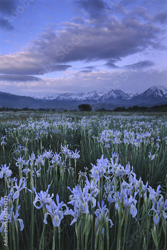 Wild irises, Moraea sp., Eastern Sierra, California