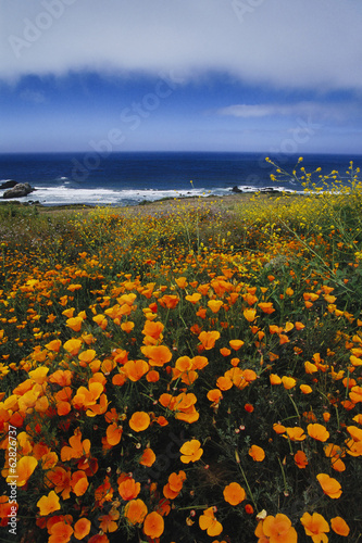 California poppies, Eschscholzia californica, on the cliffs at Big Sur, California< USA