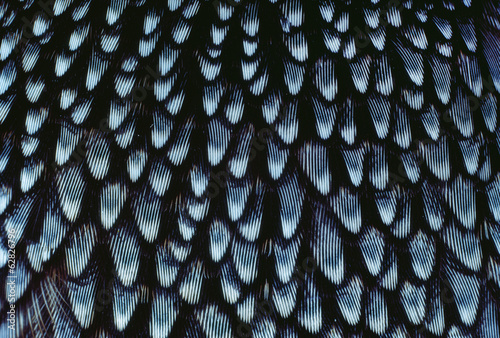 California quail breast feathers, Callipepla californica, California