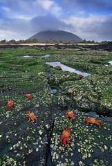 Sally lightfoot crabs, Grapsus grapsus, Galapagos Islands