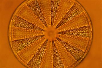 Diatom, Farlow Herbarium, Harvard University