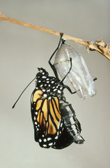 Monarch butterfly holding onto chrysalis shell, Danaus plexippus, Mexico
