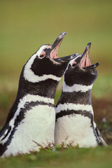 Magellanic penguins calling, Spheniscus magellanicus, Falkland Islands