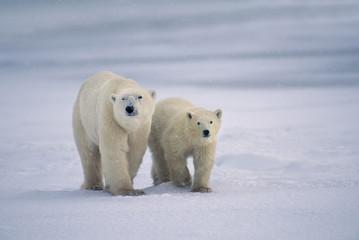 Polar bear mother and young, Ursus maritimus, Hudson Bay, Canada