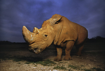 White rhinoceros, Ceratotherium simum, Native to Africa