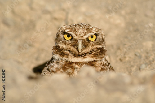Burrowing owl peering out of burrow, Athene cunicularia, Monterey Bay, California