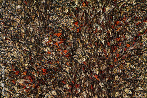Monarch butterflies, Danaus plexippus, Michoacan, Mexico