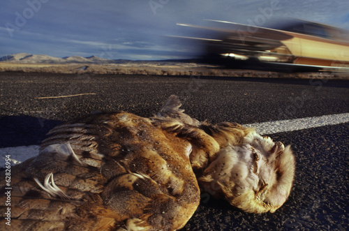 Barn owl dead after car collision, Tyto alba, Klamath Basin National Wildlife Refuge, California