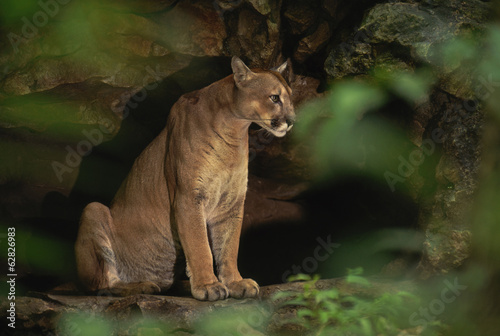 Cougar in cave, Puma concolor, Chiapas, Mexico